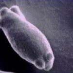 Levadura Brettanomyces microscopio