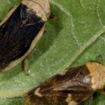 insecto vector xylella. Philaenus spumarius