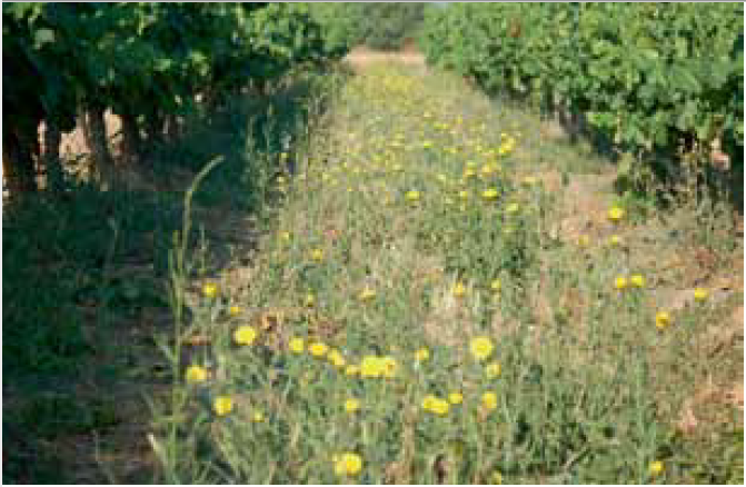 imagen cubierta vegetal espontanea viñedo