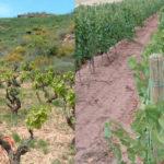 Imagen viñedo en vaso y viñedo en espaldera Carlos Sancha